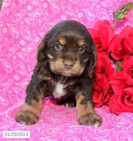 Cocker Spaniel Puppy For Sale Cocker Spaniel Puppies Spaniel Puppies For Sale Lancaster Puppies