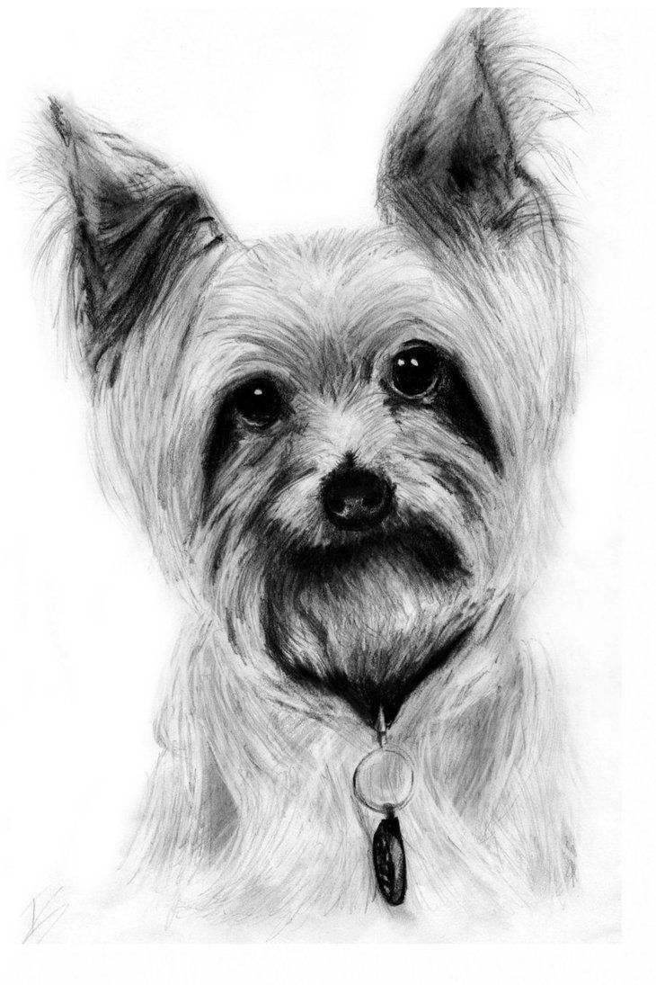 Yorkshire Terrier Drawing By Slippy88 On Deviantart Yorkshire Terrier Animal Printables Terrier