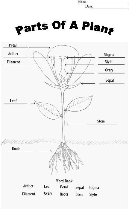 Parts of a Plant Coloring sheet - tape or glue parts to the sheet as you examine it.  W10