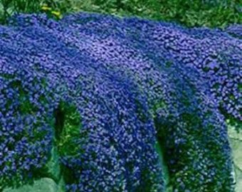 50+ AUBRIETA ROYAL VIOLET, Rock Cress / Perennial / Deer Resistant / Ground Cover / Fragrant Flower Seeds#aubrieta