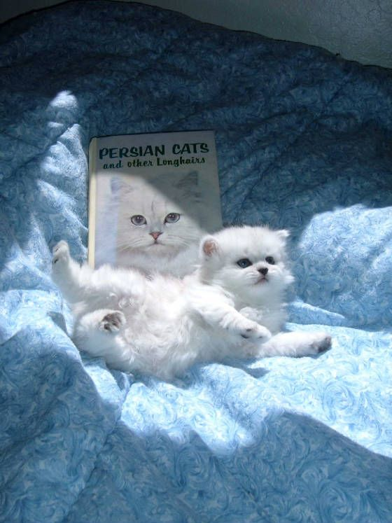 Found It Persian Kittens For Sale Crazy Cats Persian Kittens