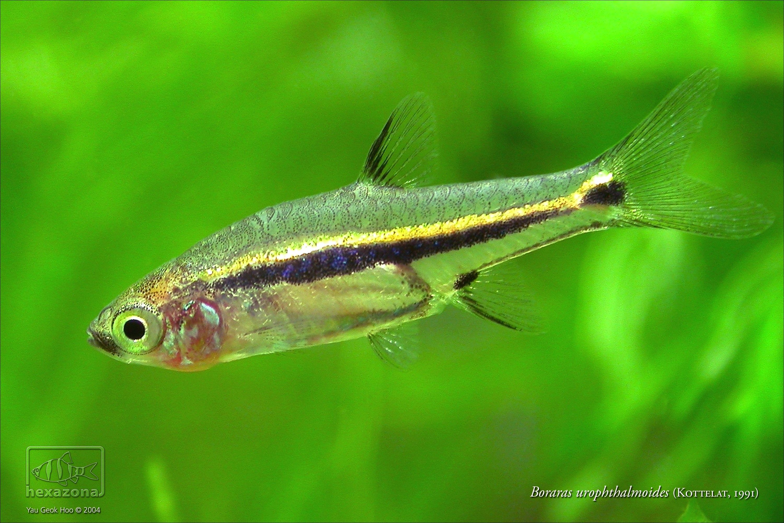 Boraras Urophthalmoides Aquarium Fish Fish Pet Aquascape
