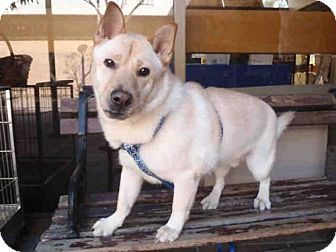 Los Angeles Ca Pembroke Welsh Corgi Shiba Inu Mix Meet A1652618 A Dog For Adoption Http Www Adoptapet Com Pet 1697 Pets Kitten Adoption Welsh Corgi Mix