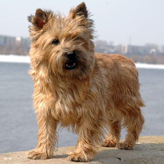 Pin By Drawdogs Com On Cairn Terrier Dog Art Portraits