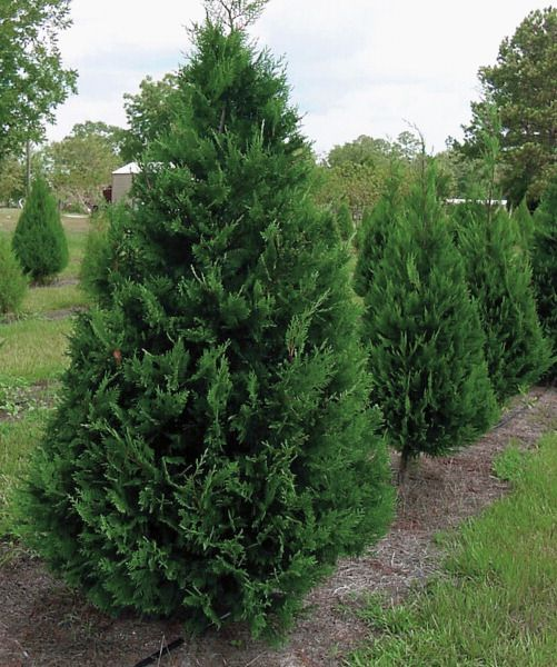 Leyland Cypress Tree Is A Fast Growing Coniferous Evergreen With Feathery Texture That Soft To The Touch