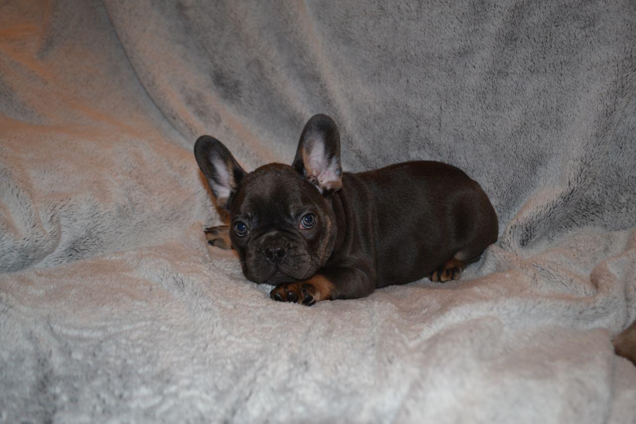 Blue Tan Girls Kc Reg French Bulldog Puppies Small Puppies