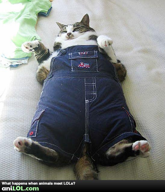 Funny Fat Cats Cute Animal Pics Funny Fat Cat Wearing Overalls