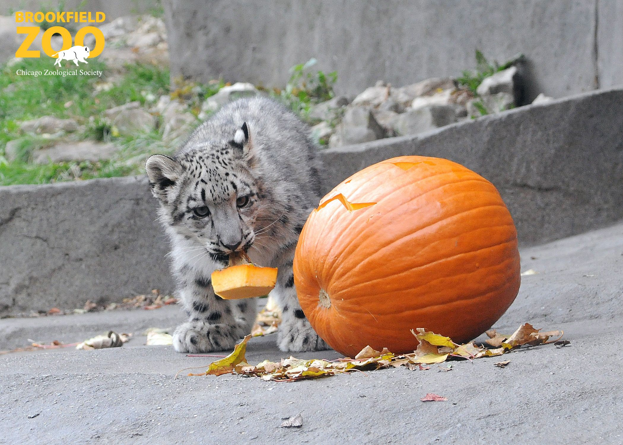 Everest, a 4½monthold snow leopard at Brookfield Zoo