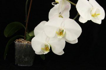 Vanilla Orchids White Flowers Http Www Buzzle Com Images Flowers Orchids Vanilla Orchid Jpg Orchid Flower Orchids Flower Meanings