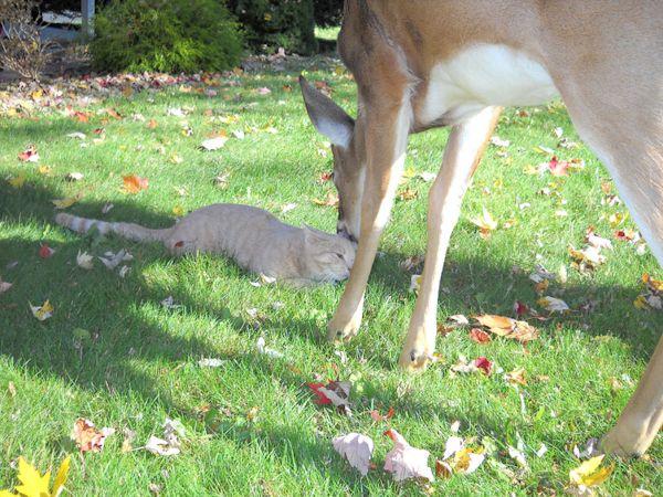 Todos os dias um cervo visita o seu amigo gatinho | Ronronar