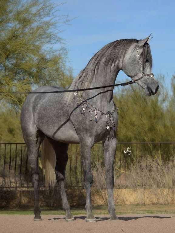 العرب و الخيل الأصيل قصة عشق وحب ووفاء لا تنتهي يكفي ان يقال لها خيل عربي وليس فارسي او هندي او انجليزي وهذا د Horses Beautiful Arabian Horses Beautiful Horses