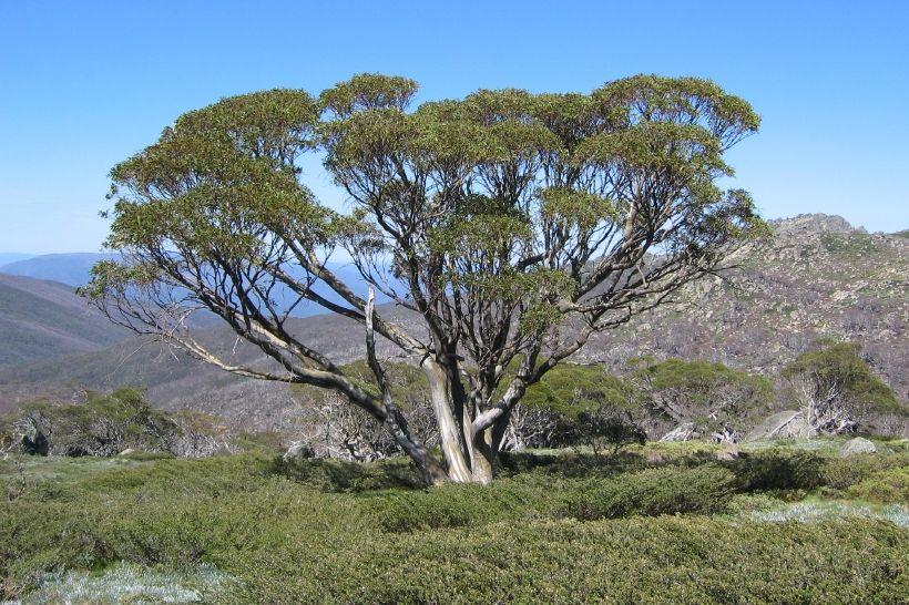 White flowering gum eucalyptus pauciflora south east australia white flowering gum eucalyptus pauciflora south east australia and tasmania mightylinksfo