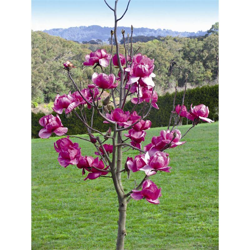 300mm Magnolia Felix I N 3724701 Bunnings Warehouse