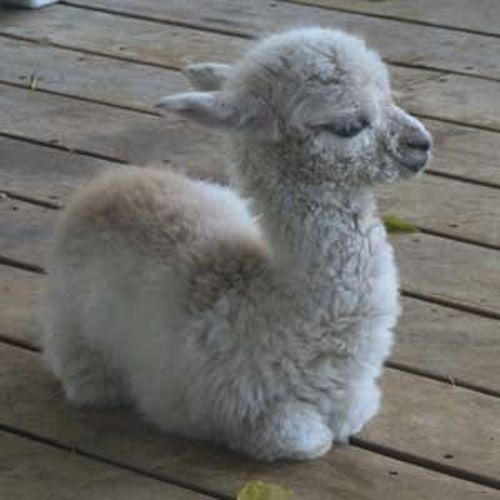 Cute itteh bitteh baby alpaca | ImgLuLz - Funny Pictures ...