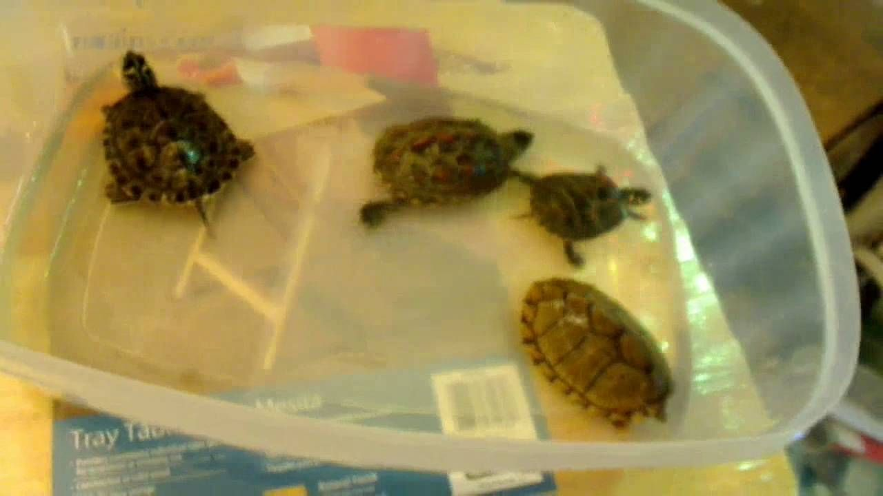Before You Buy A Turtle Watch This Video Turtle Care Western Painted Turtle Turtle