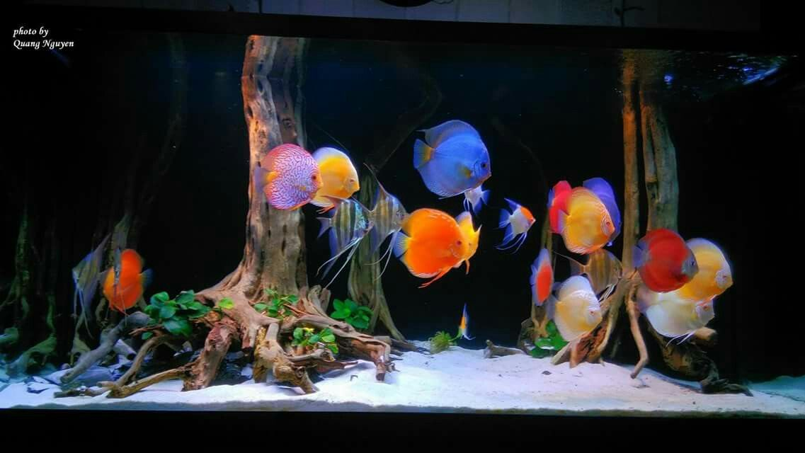 Ideas for my discus tank | Aquarium Items | Pinterest | Discus, Discus tank and Discus aquarium