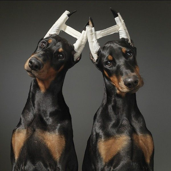 Dog Portrait Photography By Tim Flach Doberman Pinscher