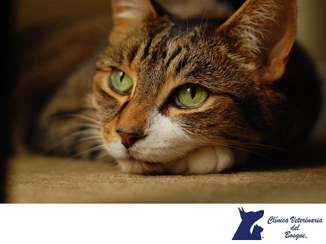 ¿Has escuchado de acuerdo a un mito que los gatos tienen siete vidas? ¿Sabes en realidad cuánto llegan a vivir? CLÍNICA VETERINARIA DEL BOSQUE Te informa La esperanza de vida promedio en gatos es de 15 años, aunque puede variar dependiendo de la alimentación, salud y cuidados preventivos que tenga tu mascota. En Clínica Veterinaria del Bosque, nuestros médicos expertos podrán asesorarte sobre la mejor manera de cuidar a tu gato. #cuidadodemascotas