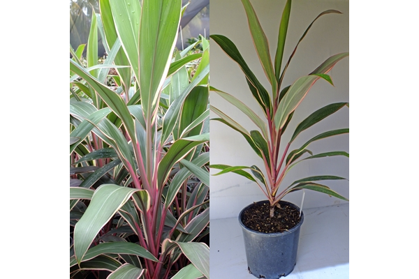 Cordyline Pink Diamond Large Bold Cordyline Green Foliage With Bright Pink And White Edges Pruning Will Encourage Mu Plants Shade Plants Online Plant Nursery
