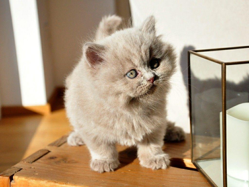 7 Ideas De Información Del Gato Persa Gato Persa Persa Gatos