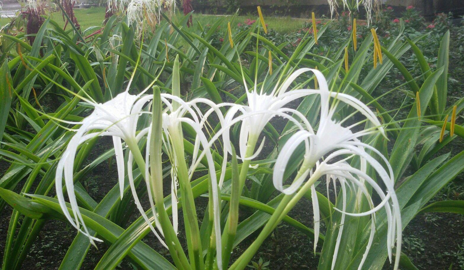 White spider lily flower amaryllidacea hymenocallis tropical white spider lily flower amaryllidacea hymenocallis izmirmasajfo