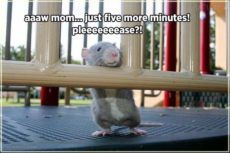 Rat Logic Timeline Photos Facebook Cute Rats Pet Rats Small Pets