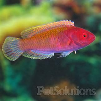 Blue Sided Fairy Wrasse Wrasse Pets Fish Pet