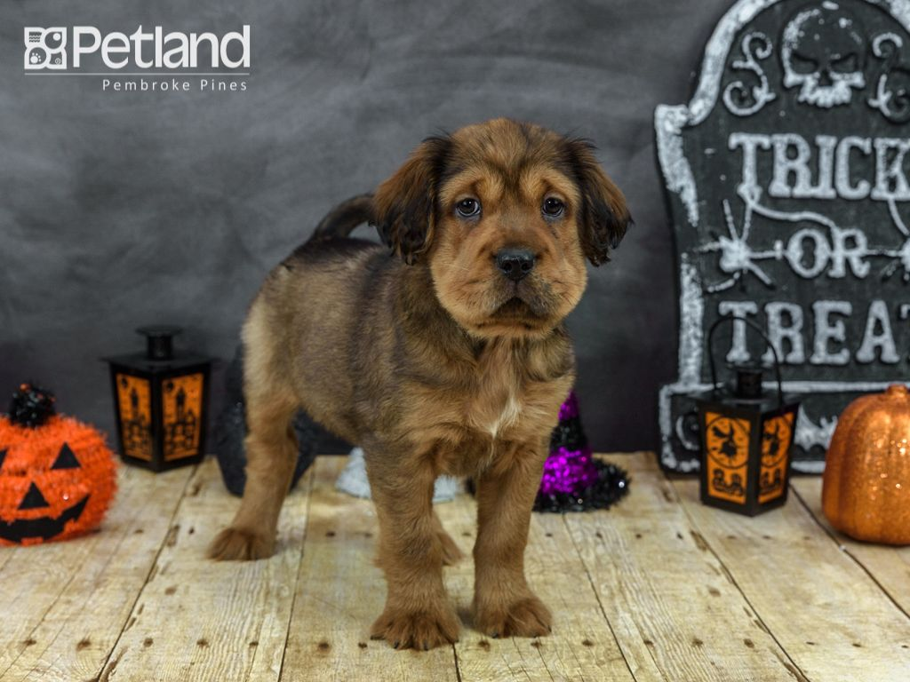 Puppies For Sale Petland Florida Puppies Puppy Friends Puppies For Sale