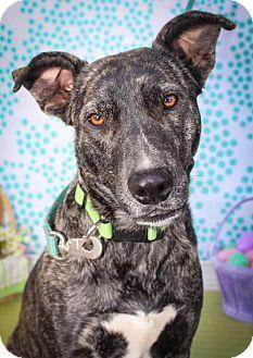Plott Hound Labrador Retriever Mix Dog For Adoption In Houston Texas Ziva Pets Animal Rescue Cute Baby Animals