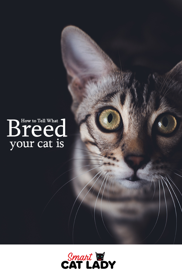 How To Tell What Breed Your Cat Is In 2020 Cat Facts Cats How To Cat