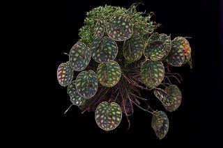 Lepanthes calodictyon