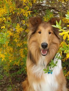 She Loves To Sit Under This Yellow Color Flower Collie Dog Collie Breeds Rough Collie