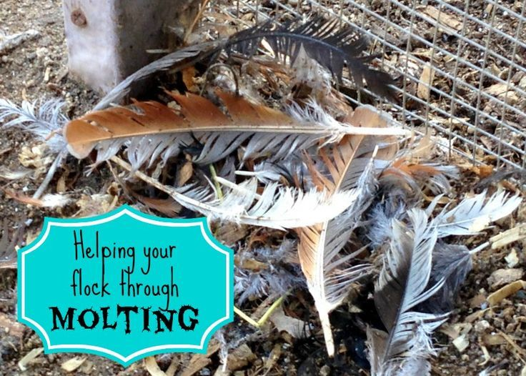 How to help your flock through molting