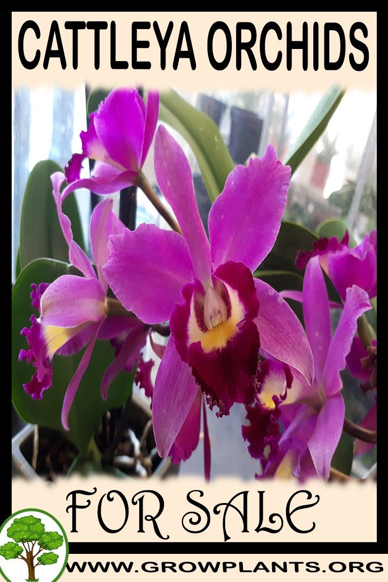 Cattleya Orchids For Sale Cattleya Orchid Cattleya Orchids