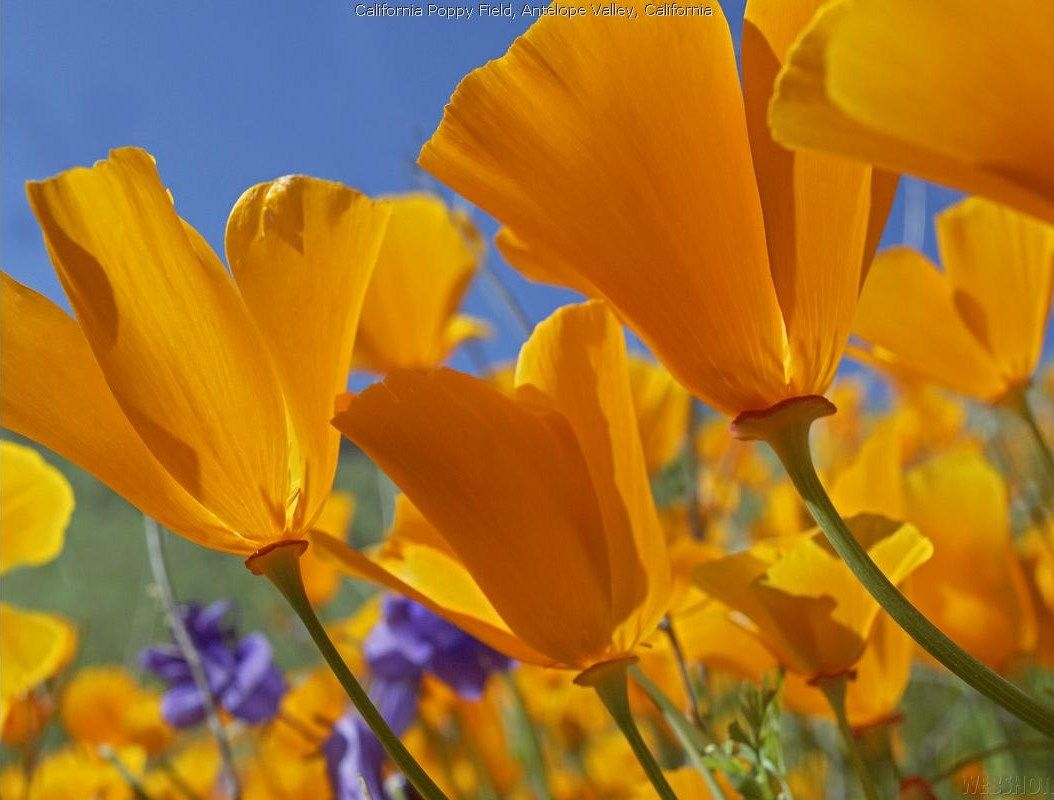 California Poppy = flower garden Flowers