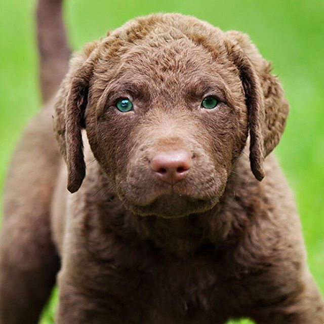 Chesapeake Bay Retriever Dog Breed Information Dog Breeds