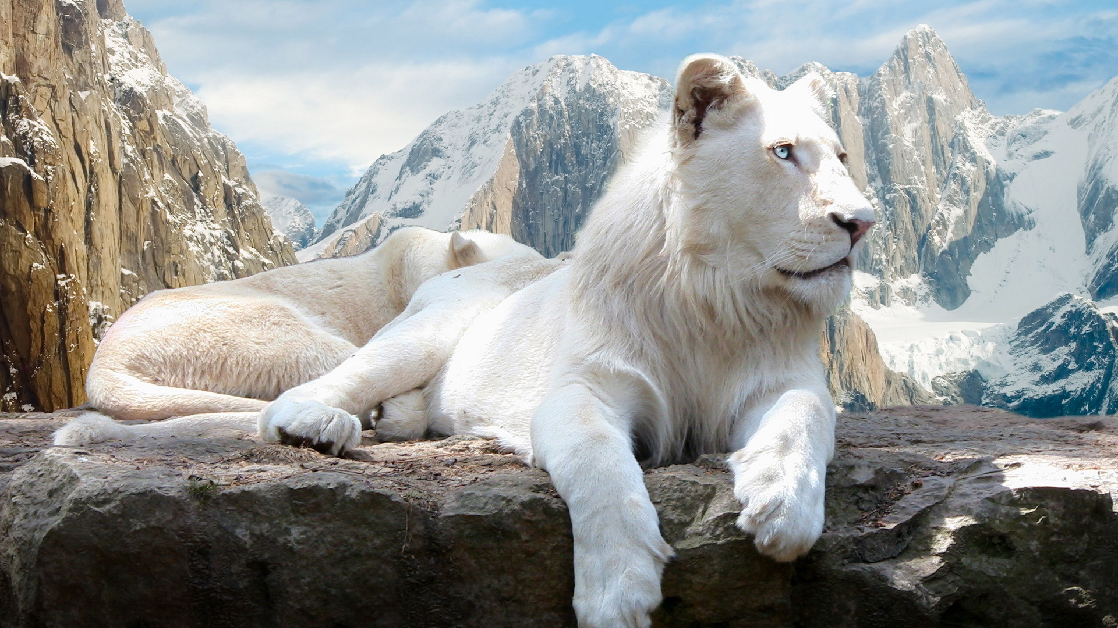 4k Ultra Hd Lion Wallpapers Hd Desktop Backgrounds 3840x2160 Albino Lion White Lion Animals Beautiful