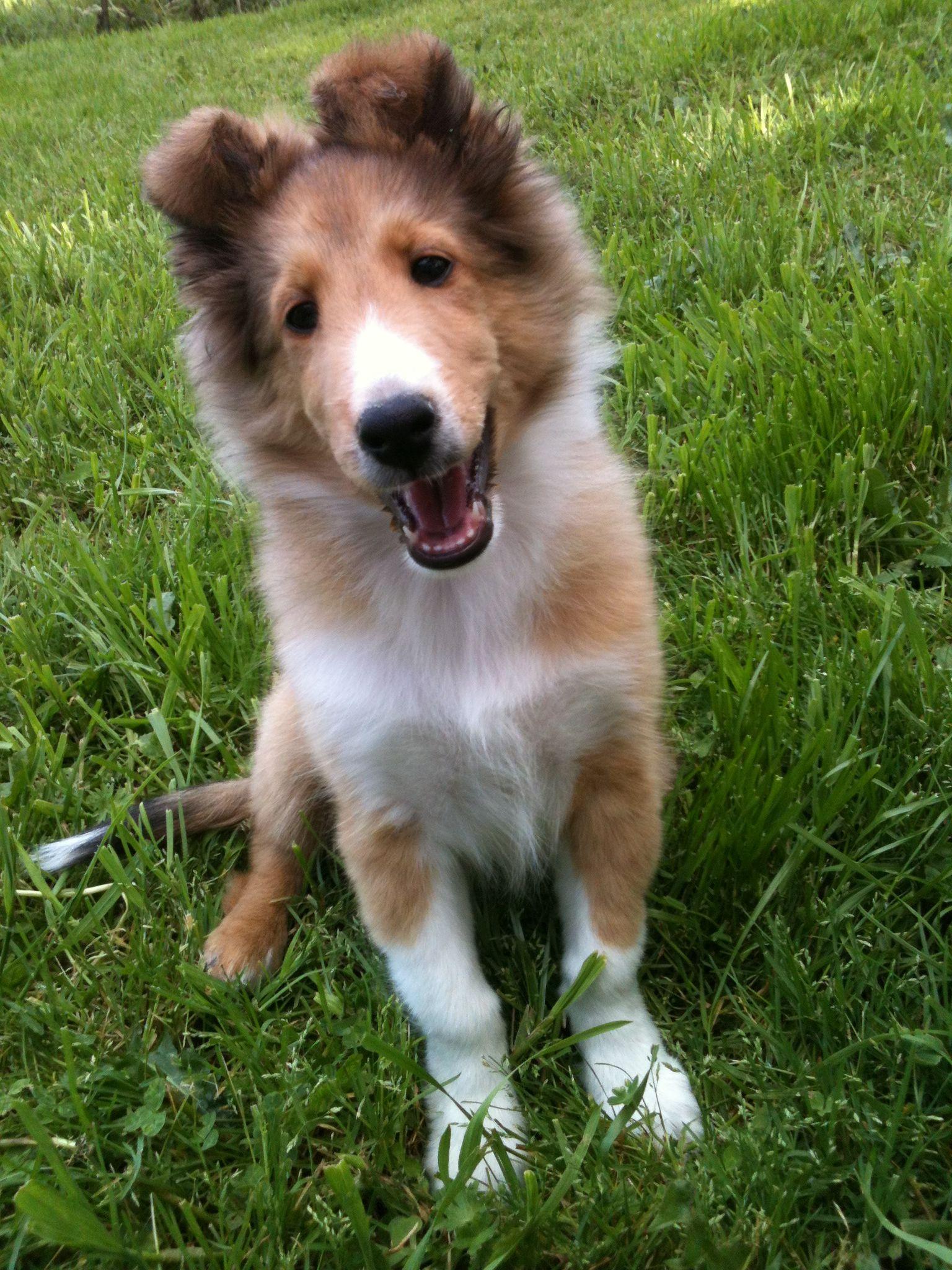 My Boy Pippin Shetland sheepdog, Sheltie, Sheepdog