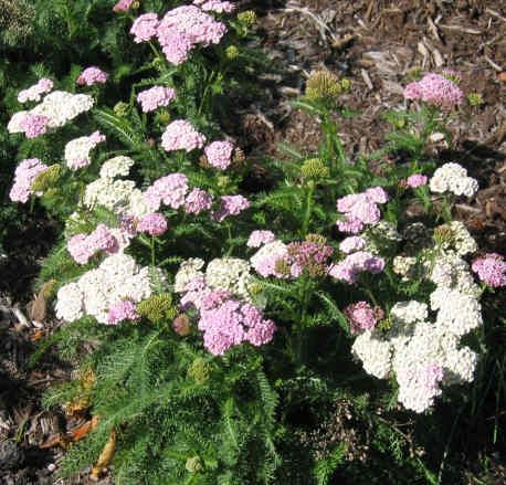 Yarrow - a lovely perennial weed grown in many herb gardens, for it has a multitude of uses. Cut the flowering tops (use only white-flowering yarrow) and use alcohol (80 proof) to make a strongly-scented tincture. A US Army study showed yarrow tincture to be more effective than DEET at repelling ticks, mosquitoes, and sand flies. Take internally prevent colds and the flu (dose is 10-20 drops). Yarrow oil is antibacterial, pain-relieving, and helpful in healing all types of wounds.