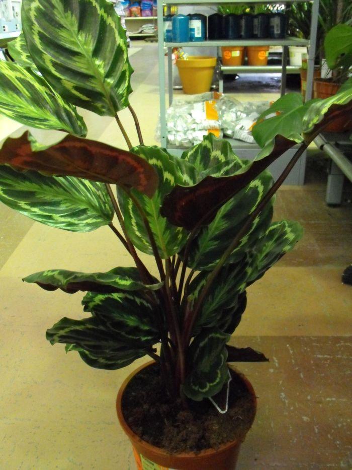 Rose painted calathea prayer plant care instructions Gardening