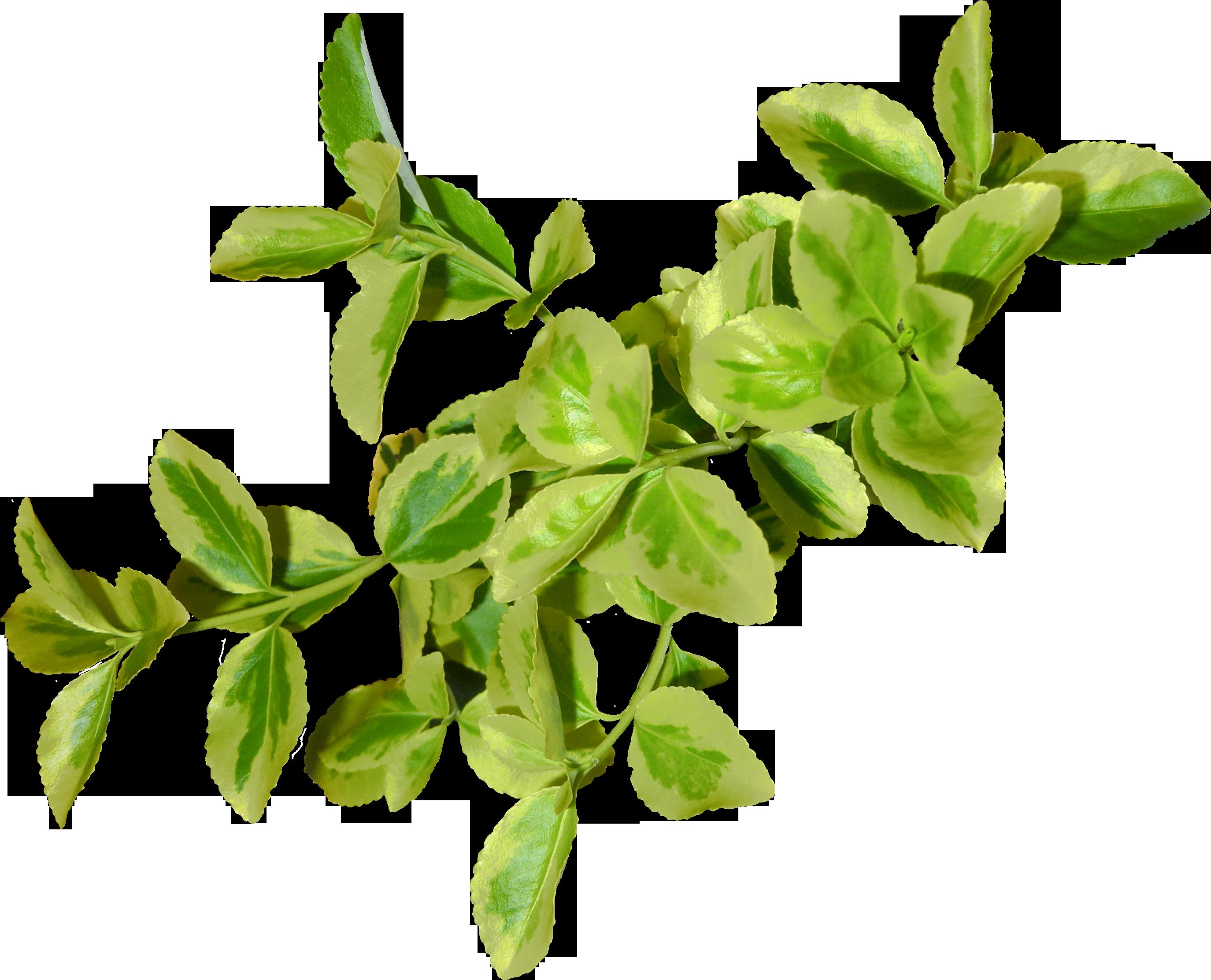 Green Leaves Png Image Green Leaf Wallpaper Green Leaves Leaves