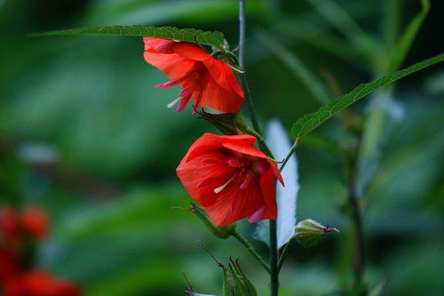 Flower Garden (prettylittleflower: ごじか (午時花) /Pentapetes...)