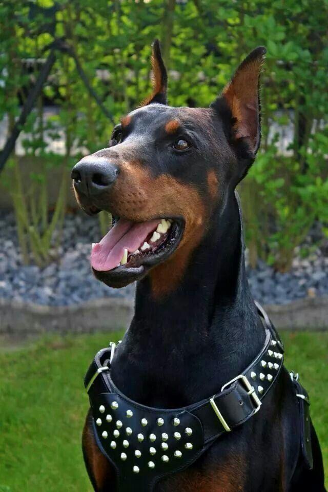 Doberman Breed Doberman Doberman Pinscher Dog Doberman Pinscher