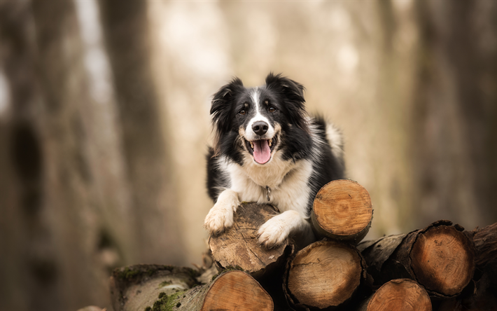 Border Collie Blurred Background Forest Pets Cute Animals Black Border Collie Dogs Border Collie Dog Bordercolli Border Collie Dog Border Collie Collie