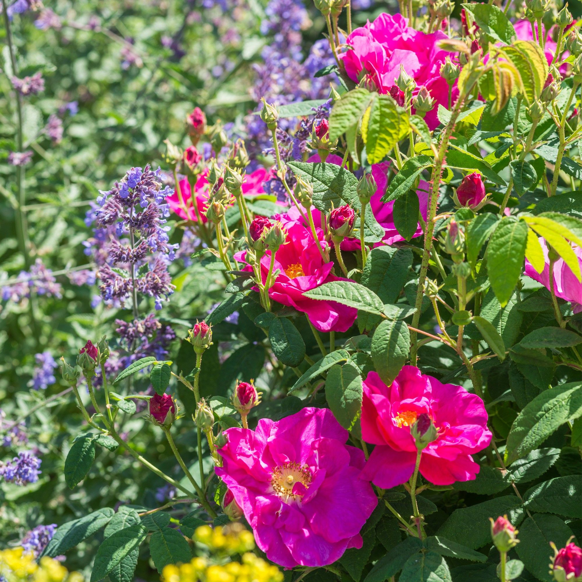 r gallica officinalis garden shrubs david austin