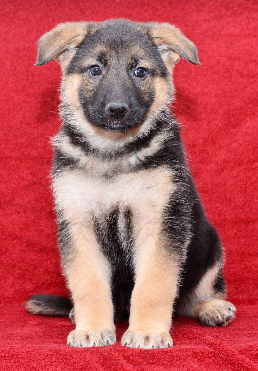 Intelligent Germanshepherd German Shepherd Puppies Lancaster