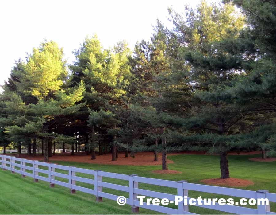 White Pine Trees Exceptionally Well Pruned Trimmed Pine Tree Landscape Pine Trees At Tree Pictures Palm Trees Landscaping White Pine Tree Landscape Trees