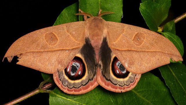 Saturniid Moth Leucanella Lynx Saturniidae Schmetterling Schone Schmetterlinge Einzigartige Tiere