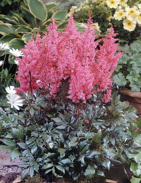 Astilbe Japonica Lollypop False Spirea From Van Bloem Gardens Plants Shade Plants Astilbe