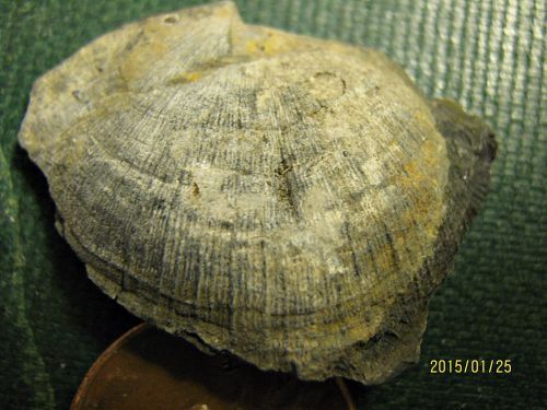 Another Rafinesquina brachiopod from New York uploaded in Ordovician: Rafinesquina sp. (brachiopod) Middle Ordovician Amsterdam Formation Rock City F...